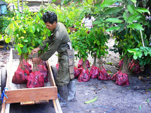Our staff in Kalimantan preparing tree saplings