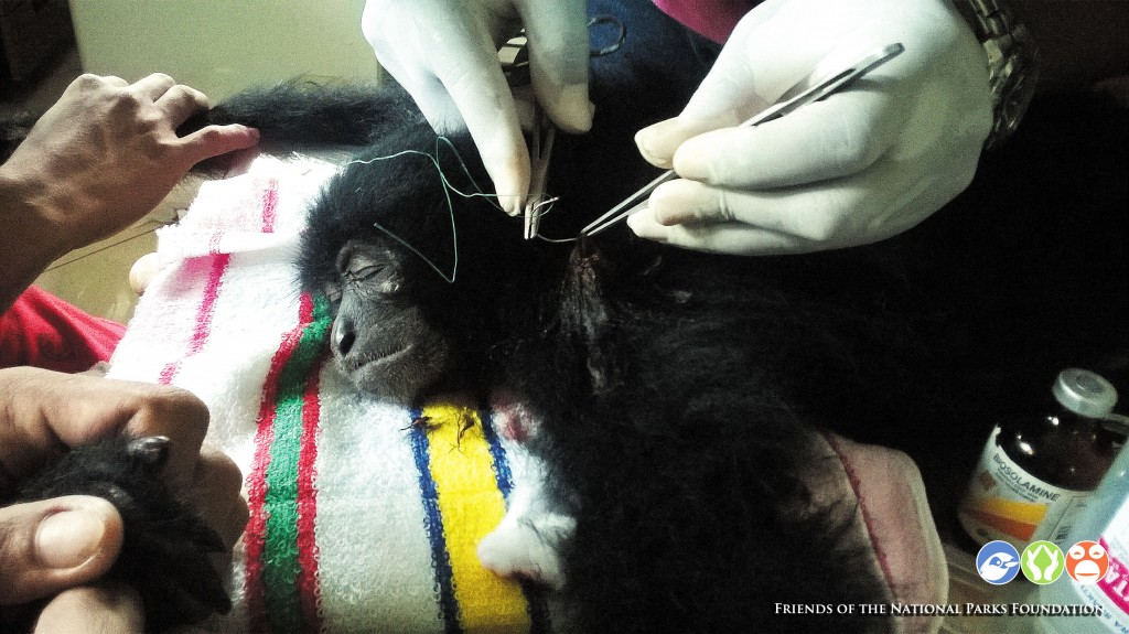One of the Siamangs receiving medical treatment
