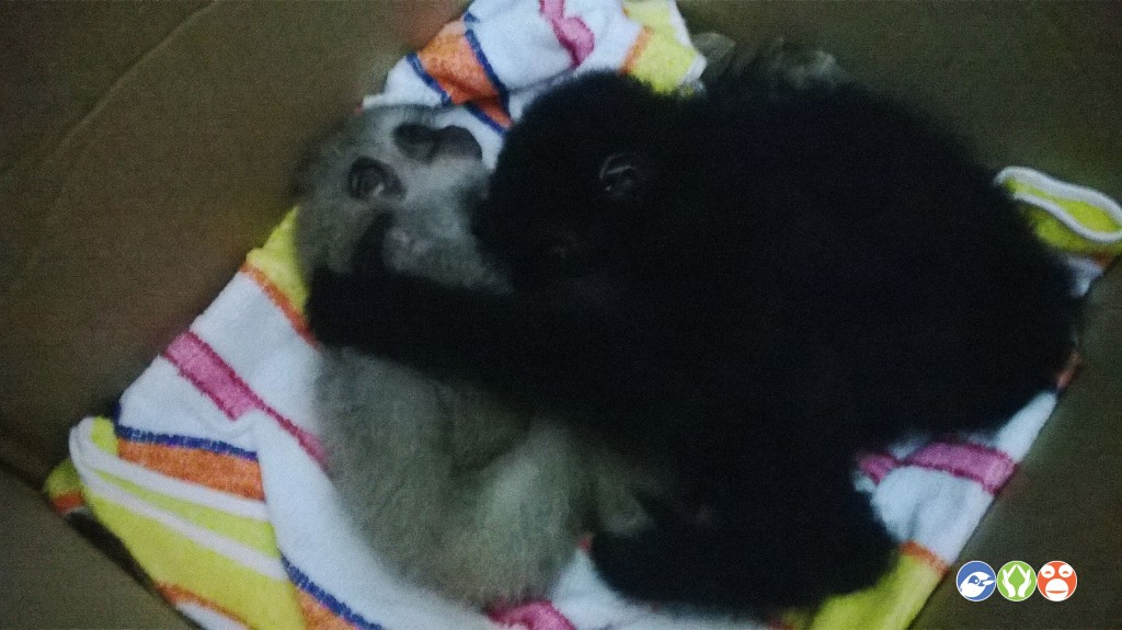 Young Agile gibbon and Siamang