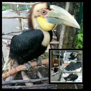 Zazu the Wreathed Hornbill