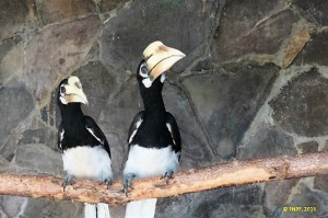 Two hornbills are adapting to their new home.